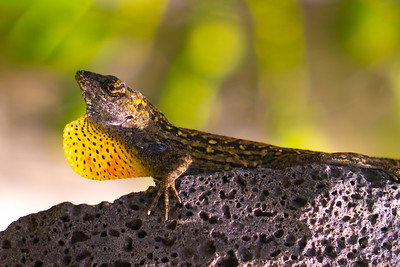 A male Brown Anole with Yellow Neck popping out  (Anolis sagrei) as seen on the Big Island