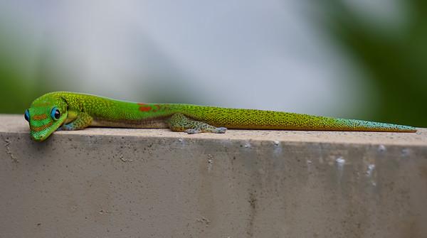 Hawaiian Gecko // Keaau, HI