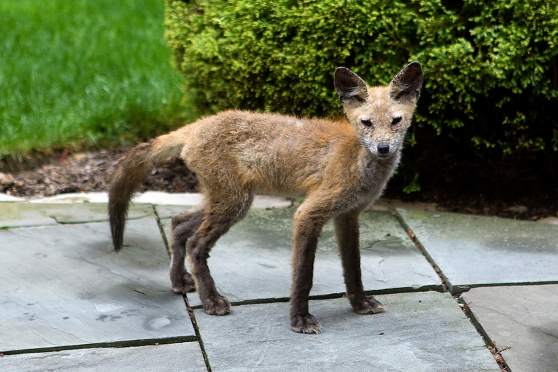 Coyote pup - On our patio - September 2008