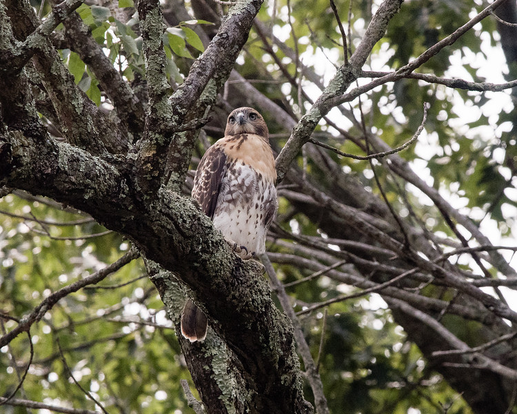 Red-tailed hawk in backyard tree - July 2017
