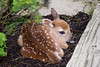 Fawn born under a bush next to our driveway - May 2011
