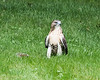 Red-tailed hawk on back lawn with kill - July 2017