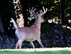 Buck - In our back yard