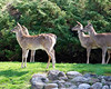 Deer family - In our front yard