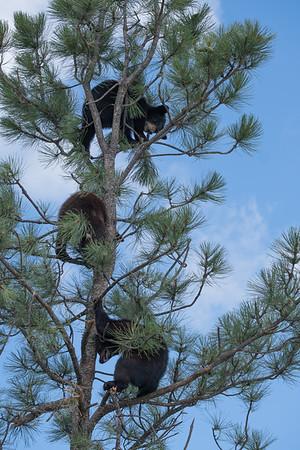 Three Bears in a Tree