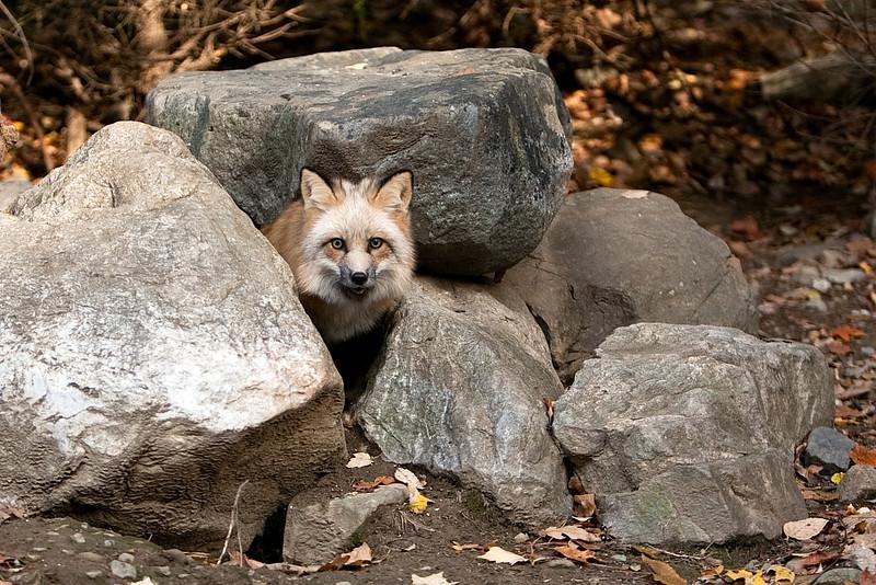 Red Tailed Fox (1) - Lakota Wolf Preserve