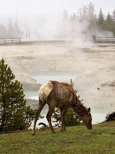 White Tail Elk grazing - Yellowstone