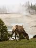 White Tail Elk grazing - Yellowstone