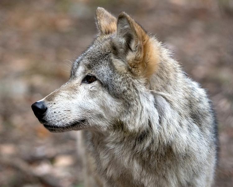 Lakota Wolf Preserve (4)