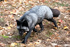 Fox - Lakota Wolf Preserve