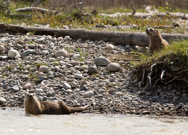 Otters along the Snake River - Grand Teton