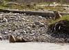 Otters along the Snake River - Grand Teton