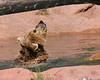 Grizzly Bear shaking off water - Bear Country USA