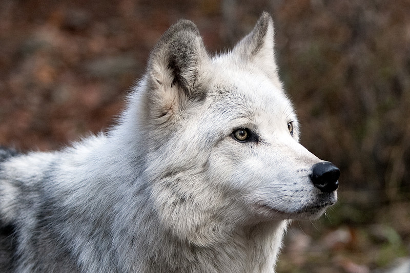 Lakota Wolf Preserve (3)