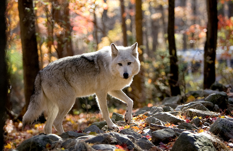 Award winning photo - Lakota Wolf Preserve