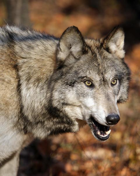 Lakota Wolf Preserve (5)