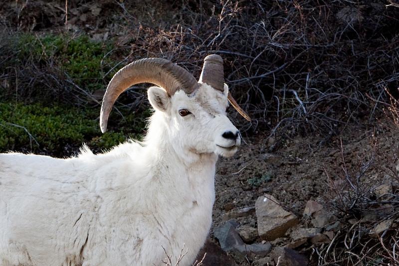 Dahl Sheep - Denali National Park, Alaska