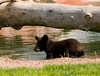Brown bear cub - Bear Country USA