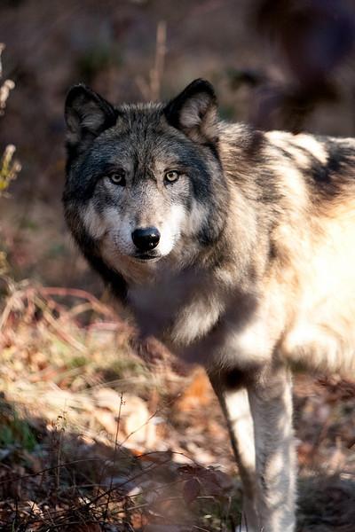 Lakota Wolf Preserve (2)