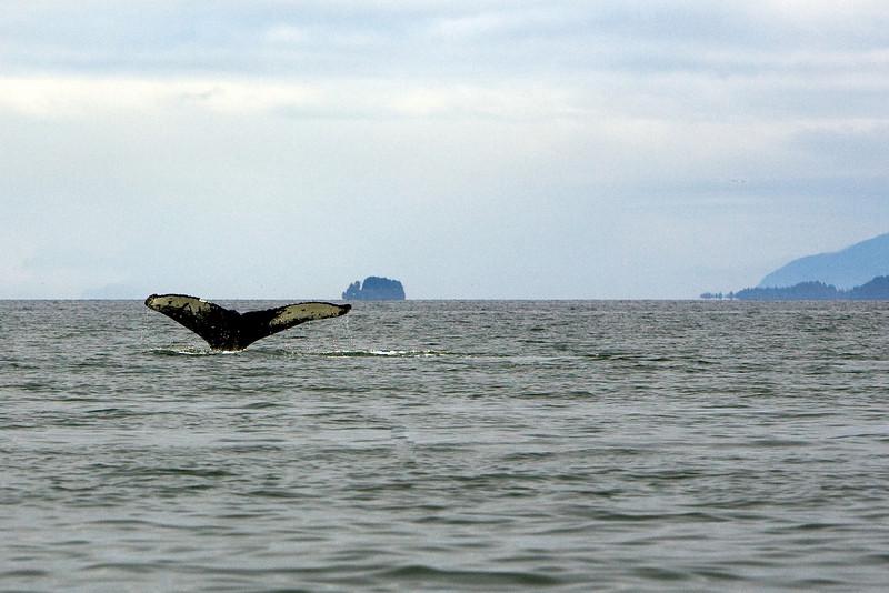 Whale Diving (2) - Alaska
