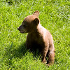 Cub hanging out - Bear Country USA