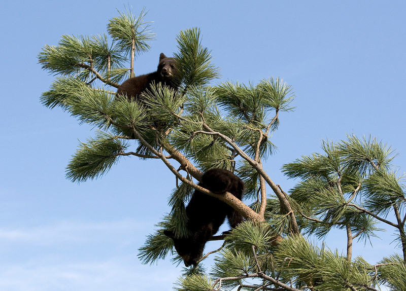 Cubs on tree top - Bear Country USA