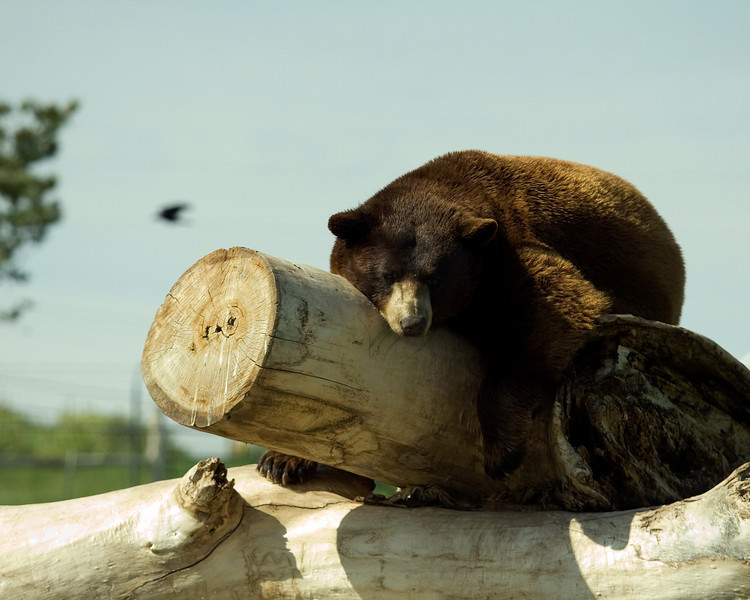 Brown Bear snoozing - Bear Country USA