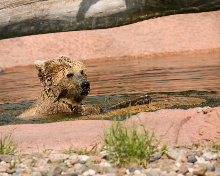 Grizzly Bear playing with a log - Bear Country USA