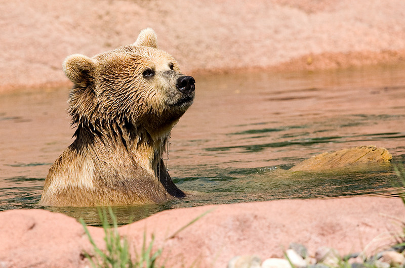 Grizzly Bear cooling off - Bear Country USA