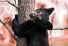 Close up of cub climbing tree - Bear Country USA