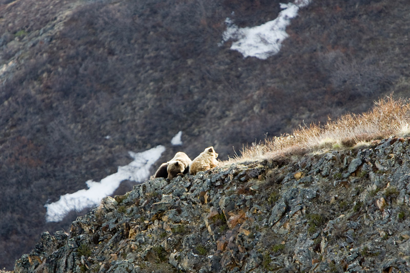 Grizzly Bears Napping - Denali National Park, Alaska
