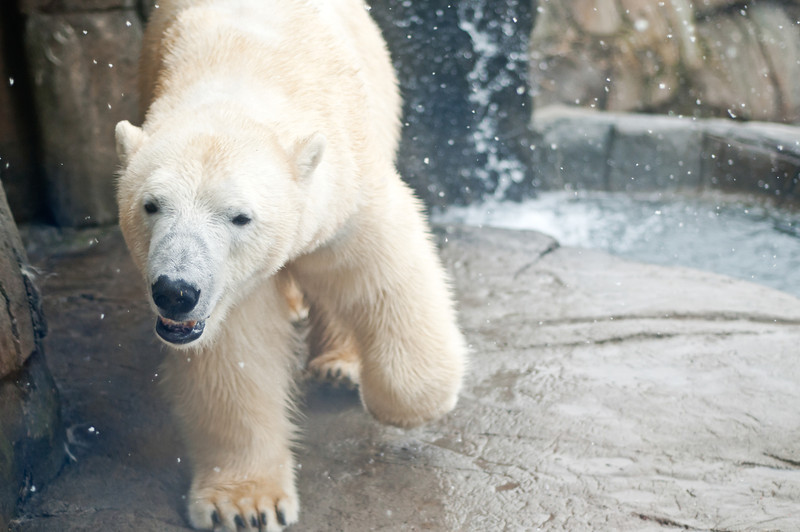 """Polar Prowl"" - Pittsburgh Zoo   Recommended Print sizes*:  4x6  