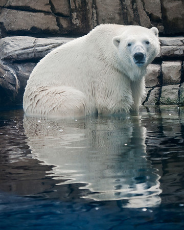 """""""Nanook"""" - Pittsburgh Zoo   Recommended Print sizes*:  8x10  