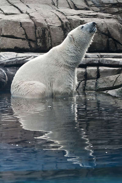 """King of the Arctic"" - Pittsburgh Zoo   Recommended Print sizes*:  4x6  