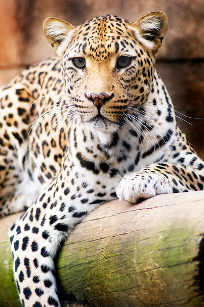 """Lounging Leopard"" - Memphis Zoo   Recommended Print sizes*:  4x6  