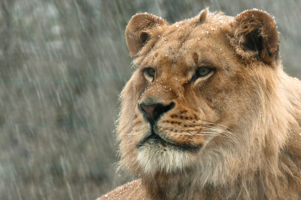 """""""Majesty"""" - Pittsburgh Zoo   Recommended Print sizes*:  4x6  