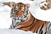"""Snow Cat"" - Pittsburgh Zoo   Recommended Print sizes*:  4x6  
