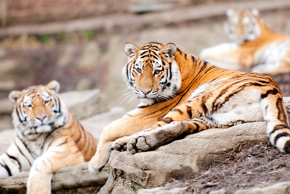 """Tiger Trio"" - Pittsburgh Zoo   Recommended Print sizes*:  4x6  