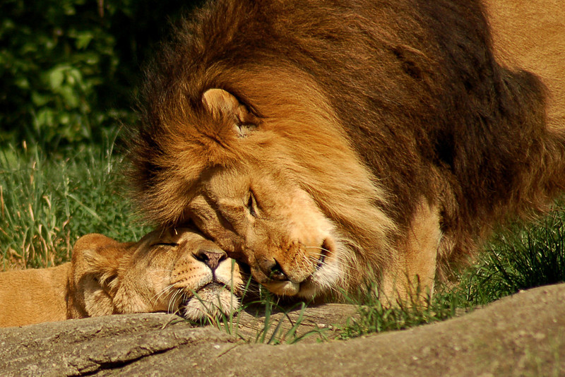 """A Lion's Love"" - Pittsburgh Zoo   Recommended Print sizes*:  4x6  