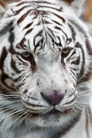 """White Tiger"" - Living Treasures   Recommended Print sizes*:  4x6  