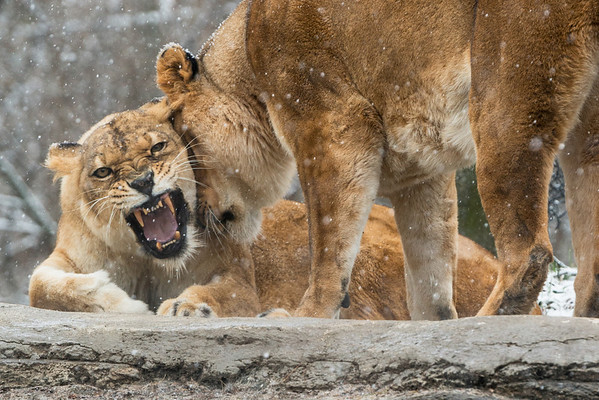 """Feline Fury"" - Pittsburgh Zoo   Recommended Print sizes*:  4x6  