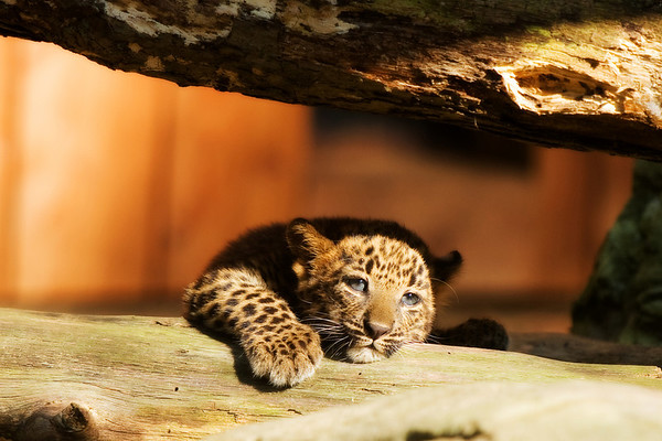 """Leopard Cub"" - Living Treasures   Recommended Print sizes*:  4x6  