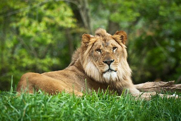 """Heir to the Throne"" - Pittsburgh Zoo   Recommended Print sizes*:  4x6  