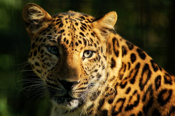 """""""Amur Leopard"""" - Pittsburgh Zoo   Recommended Print sizes*:  4x6  
