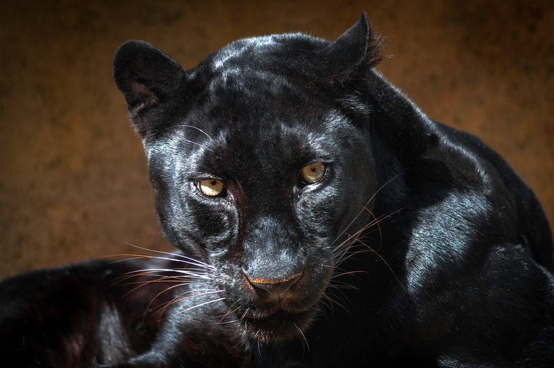 """Black Panther"" - Memphis Zoo   Recommended Print sizes*:  4x6  