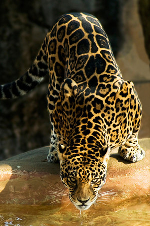"""""""Pounce"""" - Little Rock Zoo   Recommended Print sizes*:  4x6      8x12     12x18     16x24     20x30     24x36 *When ordering other sizes make sure to adjust the cropping at checkout*  © JP Diroll 2009"""