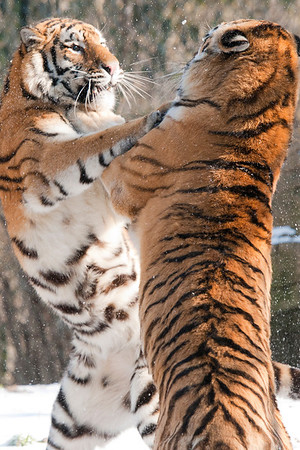 """Snow Brawl"" - Pittsburgh Zoo   Recommended Print sizes*:  4x6  