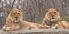 """Brothers Lion"" - Pittsburgh Zoo   Recommended Print sizes*:  4x8  
