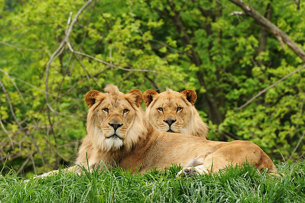 """Pair of Princes"" - Pittsburgh Zoo   Recommended Print sizes*:  4x6  