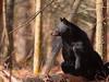 Female Black Bear (Ursus americanus)<br /> Tennessee Wildlife Calendar, August 2013